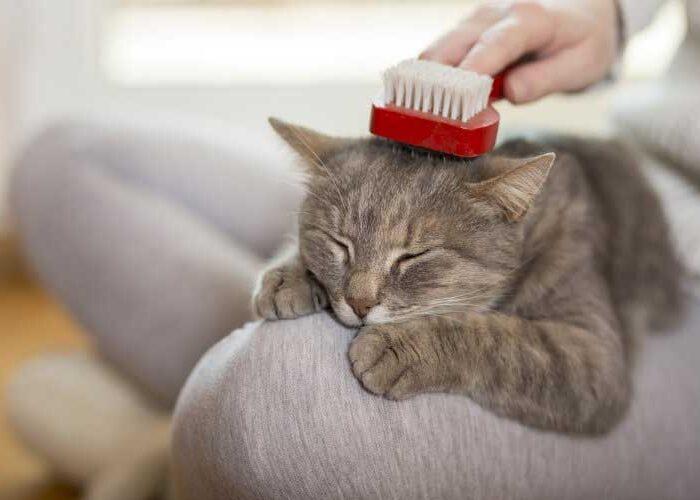 برس کشیدن گربه