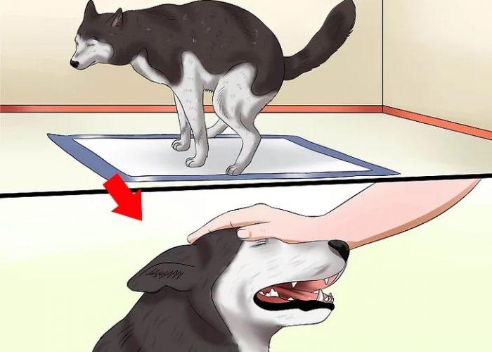 وقتی سگ شما دستشویی خود را بر روی پد ادرار سگ به پایان رساند، فوراً از او تعریف کنید.