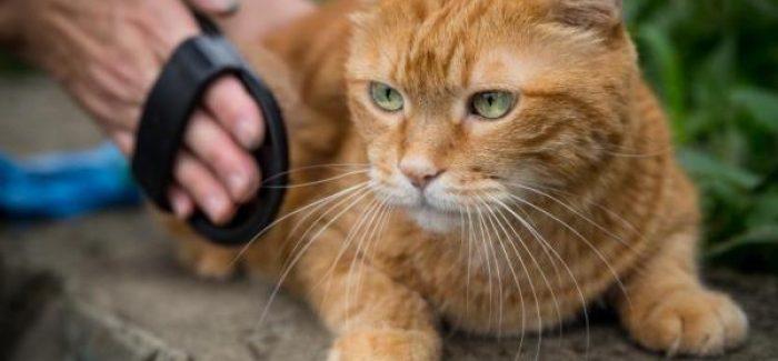 جلوگیری از ایجاد گلوله مو در معده گربه با برس زدن